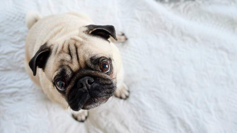 This is a file photo of a pug, not the pug named Winston who tested positive for the coronavirus.
