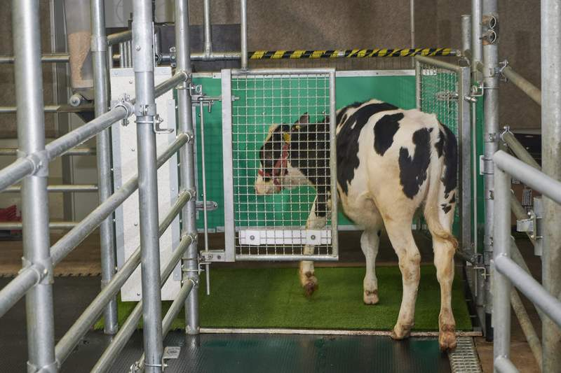 """In this undated photo provided by the Research Institute for Farm Animal Biology in Dummerstorf, Germany in September 2021, a calf enters an astroturf-covered pen nicknamed """"MooLoo to urinate. The scientists, mimicking the process of putting a toddler on the potty until he or she has to go, put the cows in and waited until they urinated and then gave them a reward: a super sweet liquid of mostly molasses. (Thomas Hntzschel/FBN via AP)"""