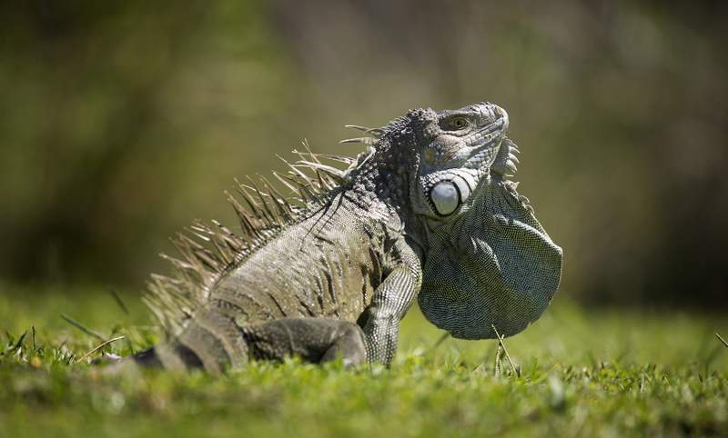 In this Oct. 14, 2013 file photo, a green iguana expands a pouch of skin underneath the lower jaw called a dewlap, as it sits in the sun on Key Biscayne, Fla. Iguanas,