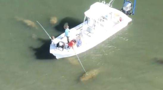 Drone video shows man poking Florida manatee with fishing rod.