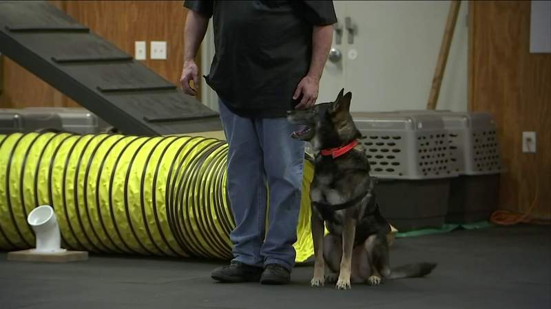 Dogs Trained To Sniff Out COVID
