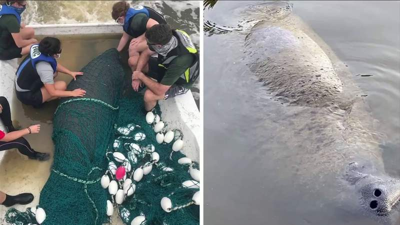 Injured manatee recovering at Jacksonville Zoo