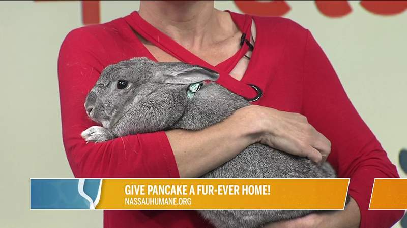 Adopt Pancake the bunny from the Nassau Humane Society | River City Live