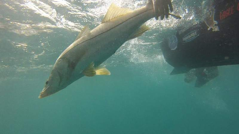 Capt Don Dingman, of Hook The Future TV, releases a healthy snook