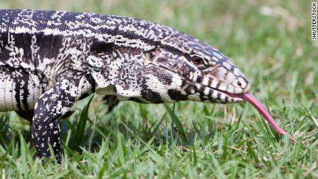 Georgia officials are asking the public to help them track 4-foot long, invasive lizards