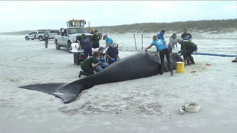 Right Whale killed by boat strike washes ashore