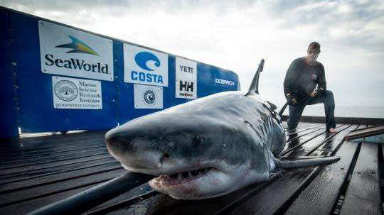 OCEARCH tagging Miss May, a 10-foot great white shark, in 2019.