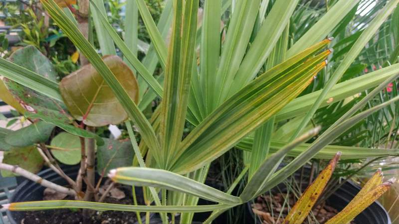 Saw Palmetto is a classic landscape plant used under trees in Florida yards.