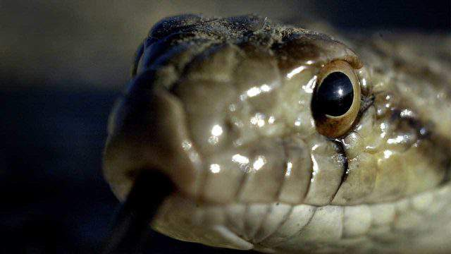 A snake tastes the air with its tongue. (Photo by David McNew/Getty Images)
