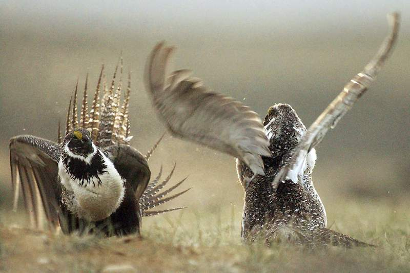 FILE - In this May 9, 2008, file photo, male sage grouses fight for the attention of females southwest of Rawlins, Wyo. Judge Brian Morris said in a late Friday, May 22, 2020 ruling the Trump administration failed to protect habitat for a declining bird species when it issued energy leases on hundreds of square miles of public lands in Wyoming and Montana. (Jerret Raffety/The Rawlins Daily Times via AP, File)