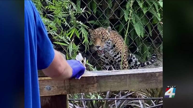 Man who stuck his manus  successful  jaguars grounds   astatine  Jax Zoo hospitalized