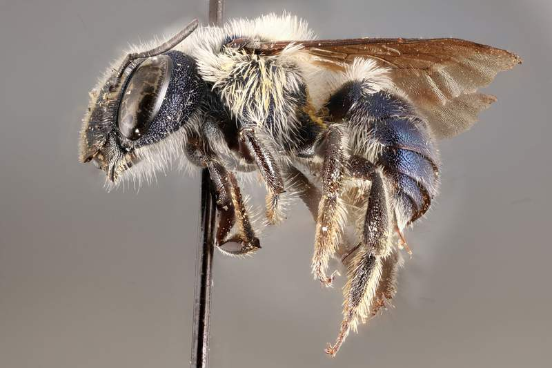 First described in 2011, the blue calamintha bee, was known from only four locations until Florida Museum of Natural History researcher Chase Kimmel documented new populations in 2020.