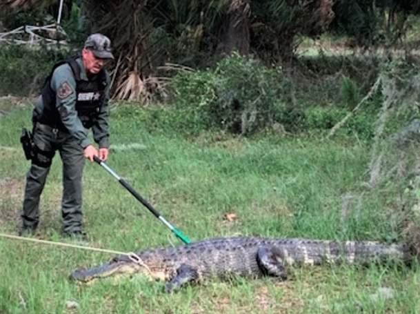 Florida alligator found being aggressive with traffic.