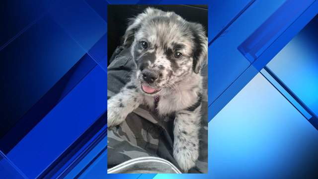 Owner Pleads For Puppy S Return After Australian Shepherd Stolen At Flea Market