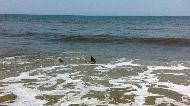 Two sharks are seen feeding in shallow water at PonteVedraBeach.