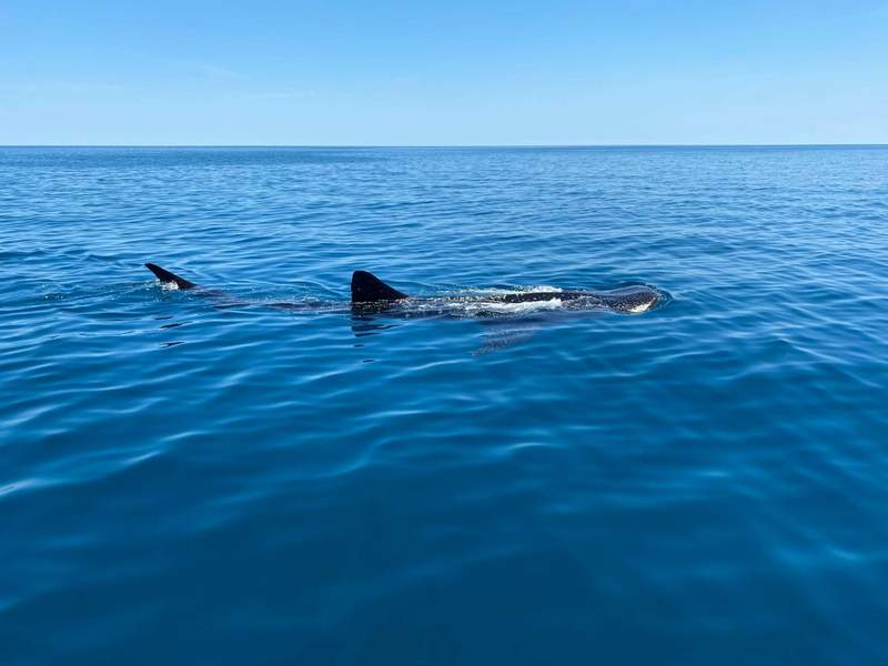 Photos of a whale shark spotted off Siesta Key on May 5, 2020. (Image credit: @alexdgroat on Instagram)