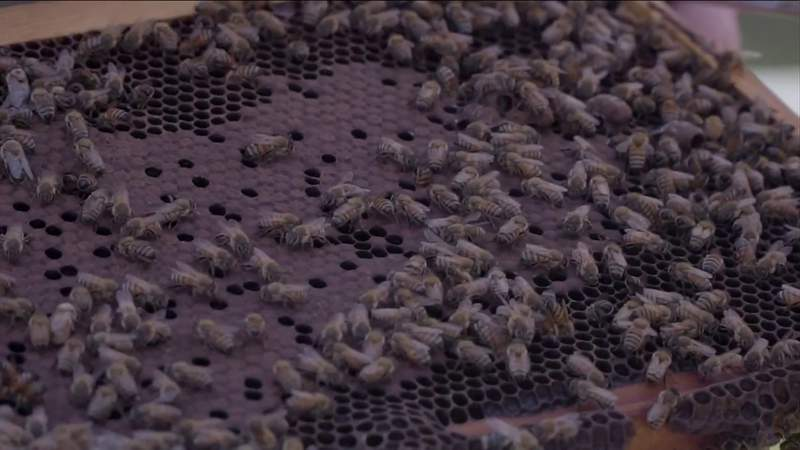 Feeling the sting: Dying honey bees threaten food supply