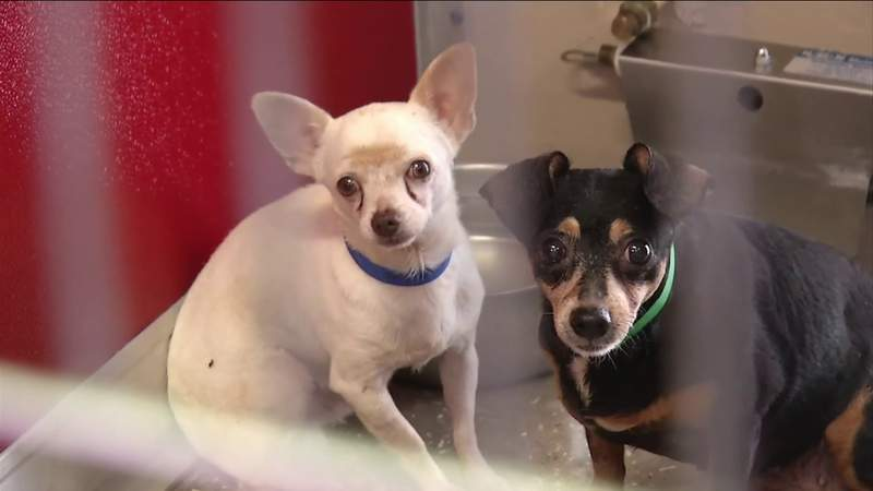 Nassau Humane Society takes in 20 dogs from Duval County home