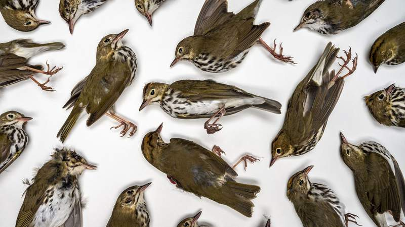 Eleven species of warbler were among the 61 birds killed by collisions with glass-covered building in Northeast Florida last spring.