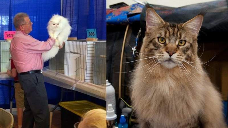 Cat show in Jacksonville this weekend!