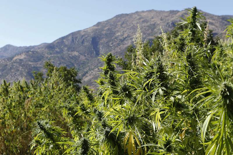 FILE - In this Sept. 14, 2014 file photo swaths of cannabis are pictured n the village of Bni Hmed in the Ketama Abdelghaya valley, northern Morocco. Morocco's government on Thursday approved a landmark bill that would legalize non-recreational uses of marijuana. Largely motivated by growing international demand for medical and industrial cannabis, the move will set the North African kingdom  among the top global producers  on the path of creating a regulated market for an industry that has long been dominated by drug traffickers. (AP Photo/Abdeljalil Bounhar, File)
