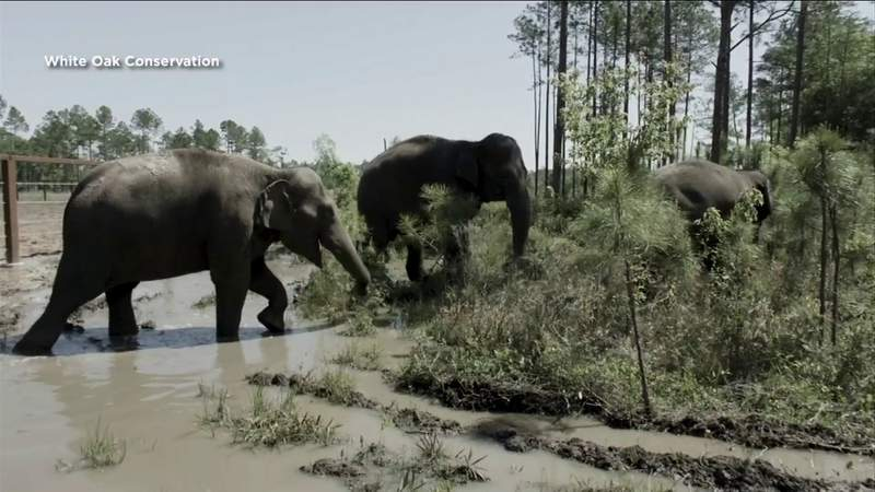 From ring to refuge: Asian elephants arrive in Northeast Florida