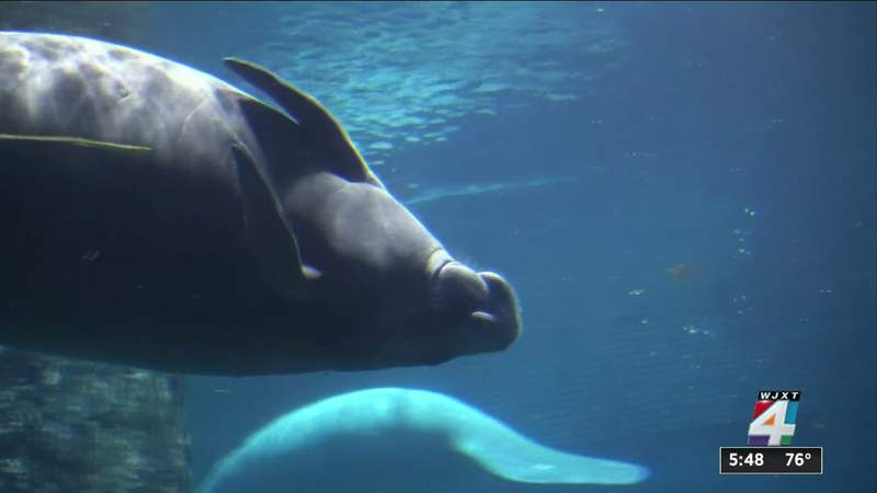 Manatee deaths spike as seagrass disappears
