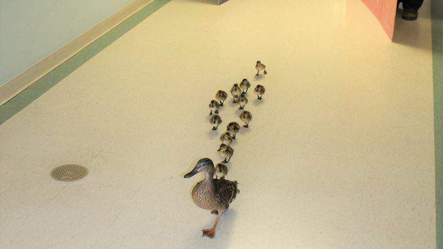 A mama duck and her ducklings strut through M.M. Ewing Continuing Care Center in New York.