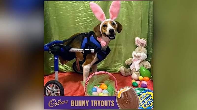 Two-legged dog named finalist for Cadbury Bunny