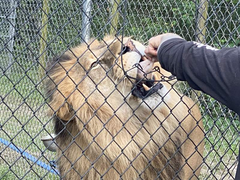 A lion named Abu eats a leg of chicken during a night feeding on April 10 at Catty Shack Ranch.