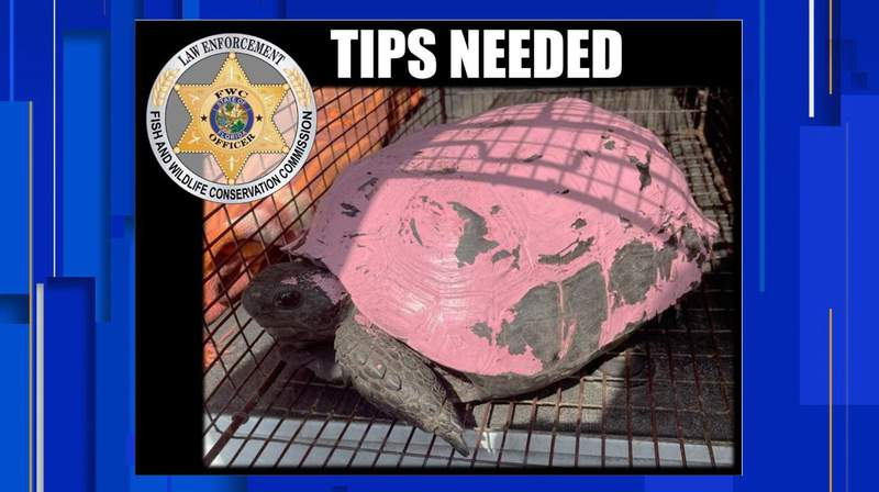 Someone is painting Florida's tortoises, endangering the reptiles