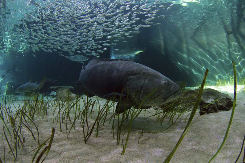 In this Monday, Nov. 5, 2018 photo, released by the Mote Marine Laboratory, a Goliath Grouper swims at Mote Aquarium in Sarasota, Fla.  Florida may lift its three-decade ban on catching and killing goliath groupers. Wildlife officials are proposing, Wednesday, May 12, 2021,  a limited harvest of the giant coastal fish, saying their numbers have rebounded sufficiently since they were almost driven to extinction by overfishing and environmental damage. (Conor Goulding/Mote Marine Laboratory via AP)