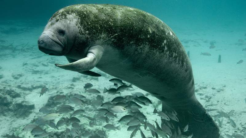 File photo of manatee resting at Three Sisters Springs in the Crystal River National Wildlife Refuge while shading over a school of mangrove snappers.