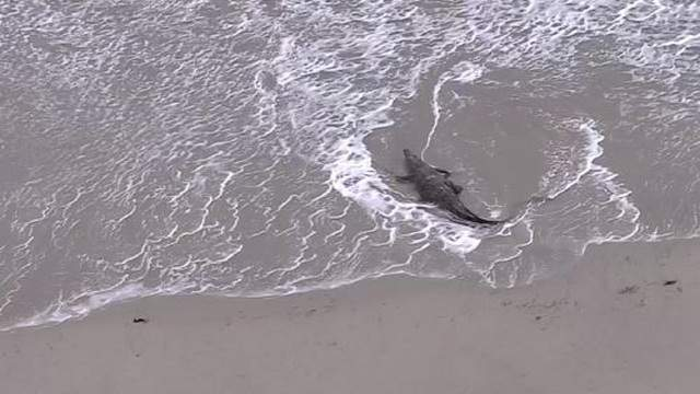 A croc is spotted on a Florida beach.