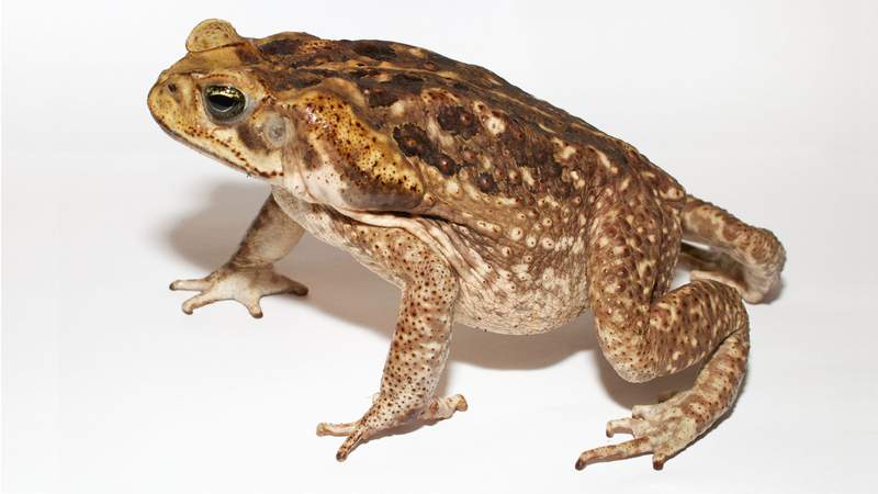 The cane toad (scientific name: rhinella marina), originally native to South and mainland Central America, is the world's largest toad.